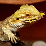 baby bearded dragon eating