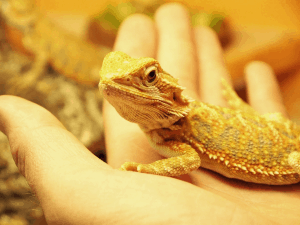 baby bearded dragon being held in palm of hand