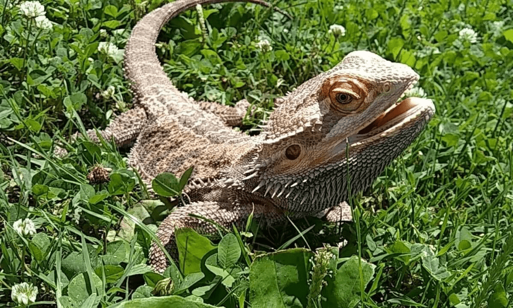 how to calm down a bearded dragon
