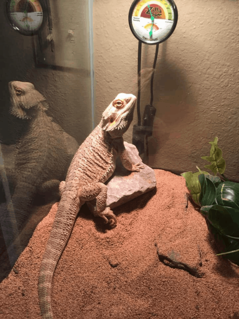 bearded dragon next to thermometer