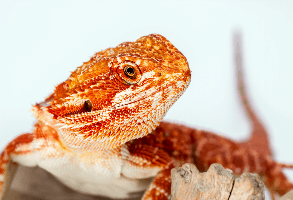 red bearded dragon