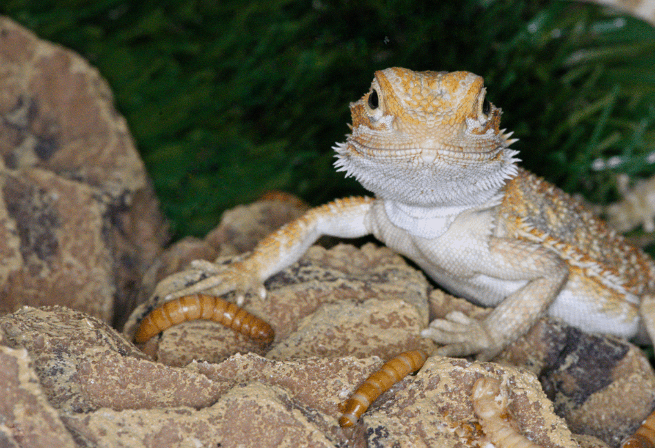 bearded dragon with worm