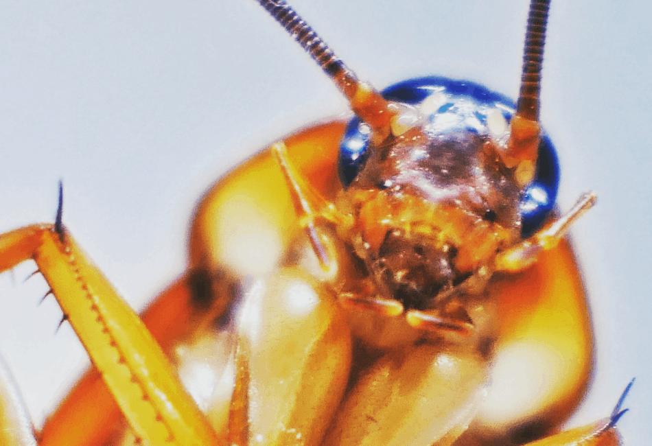orange head roach