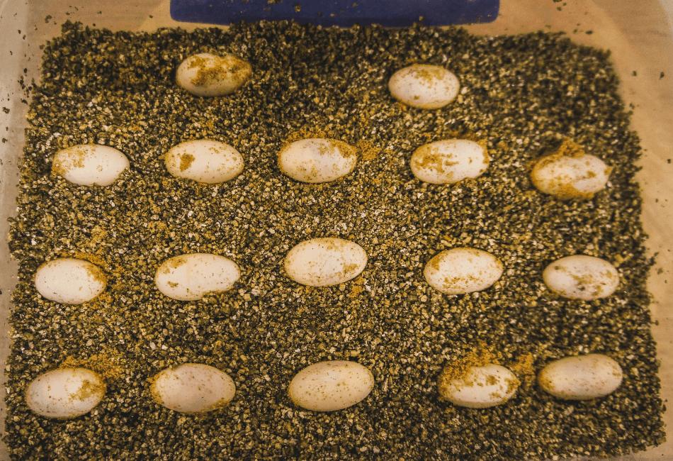 bearded dragon eggs in tray