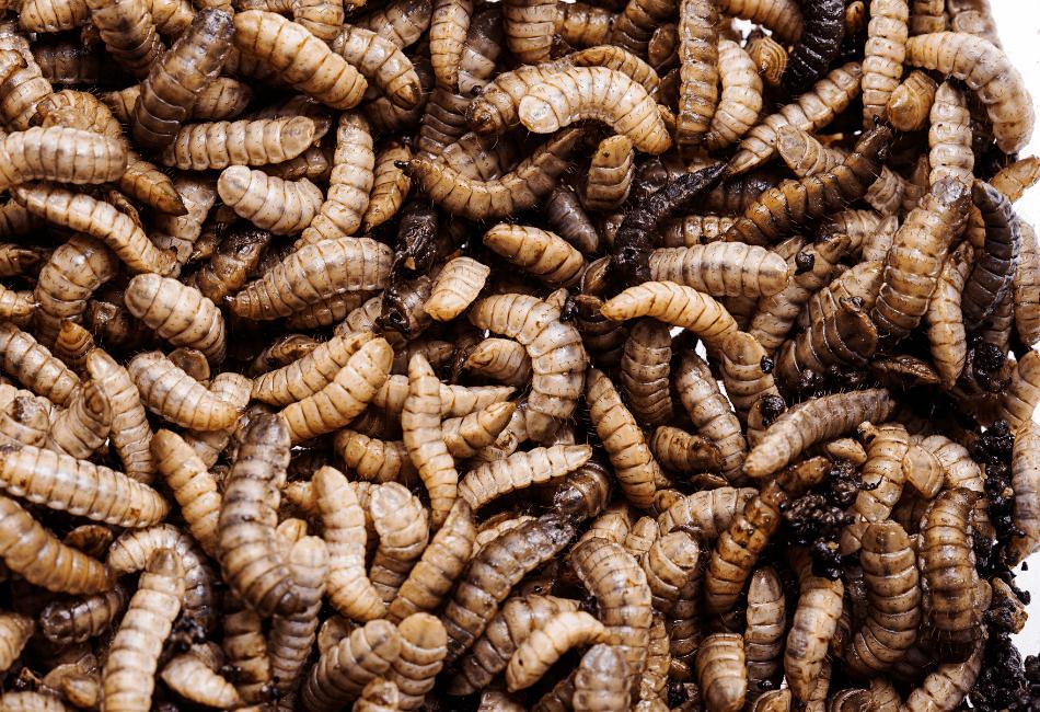 Phoenix Worm