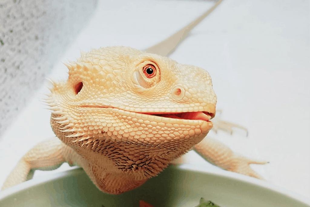 bearded dragon eating