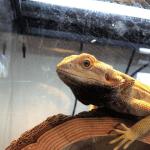 bearded dragon with black beard