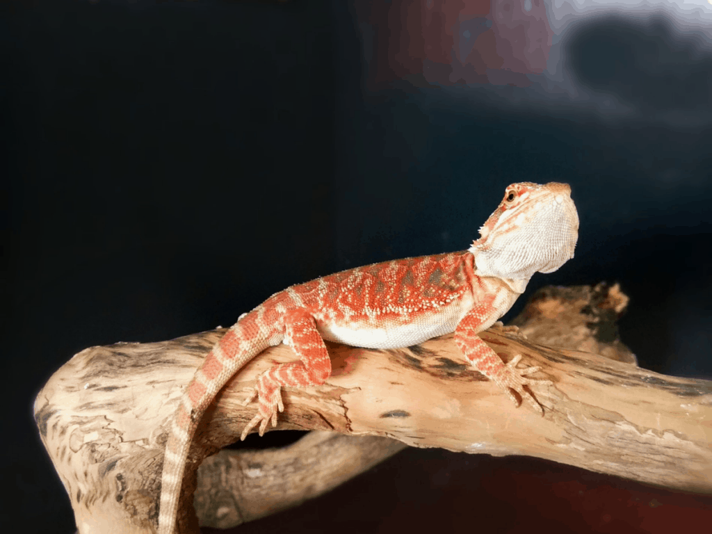 fancy bearded dragon on log