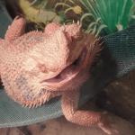 bearded dragon licking