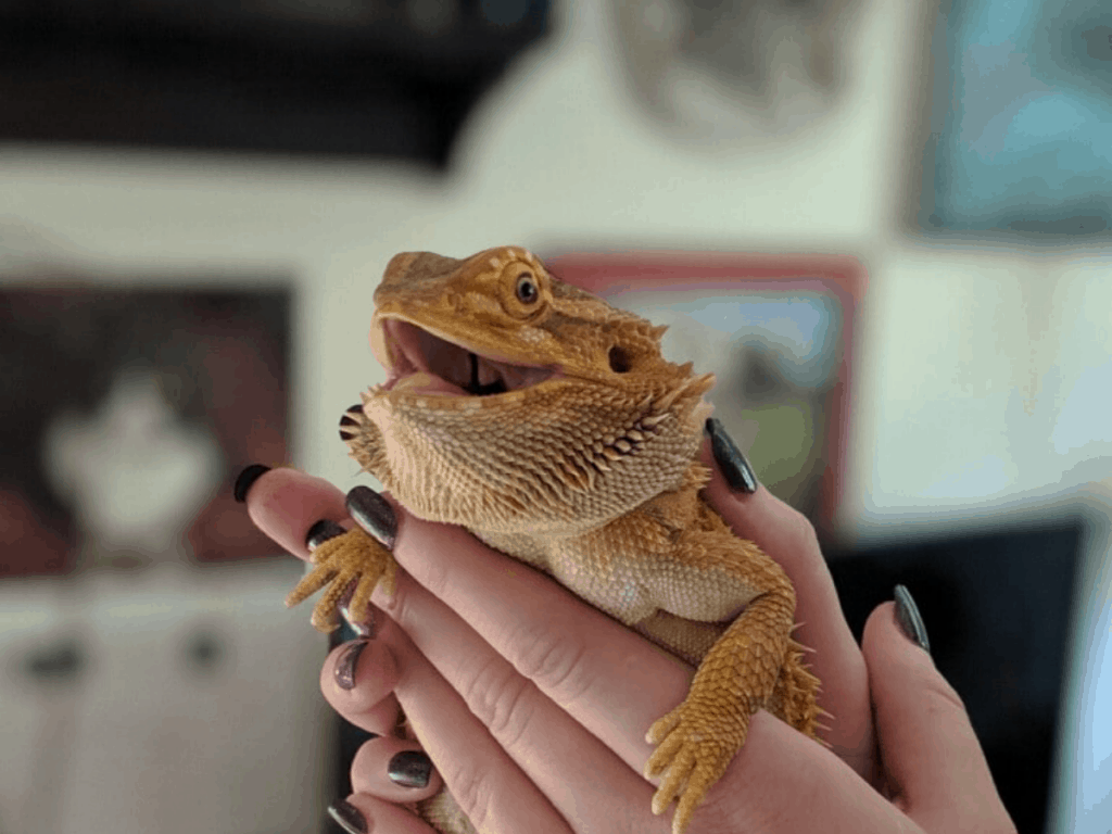 woman holding bearded dragon in her hands