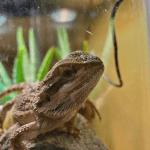 bearded dragon in tank