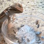 bearded dragon eating bugs
