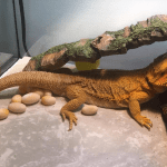 bearded dragon with clutch of eggs