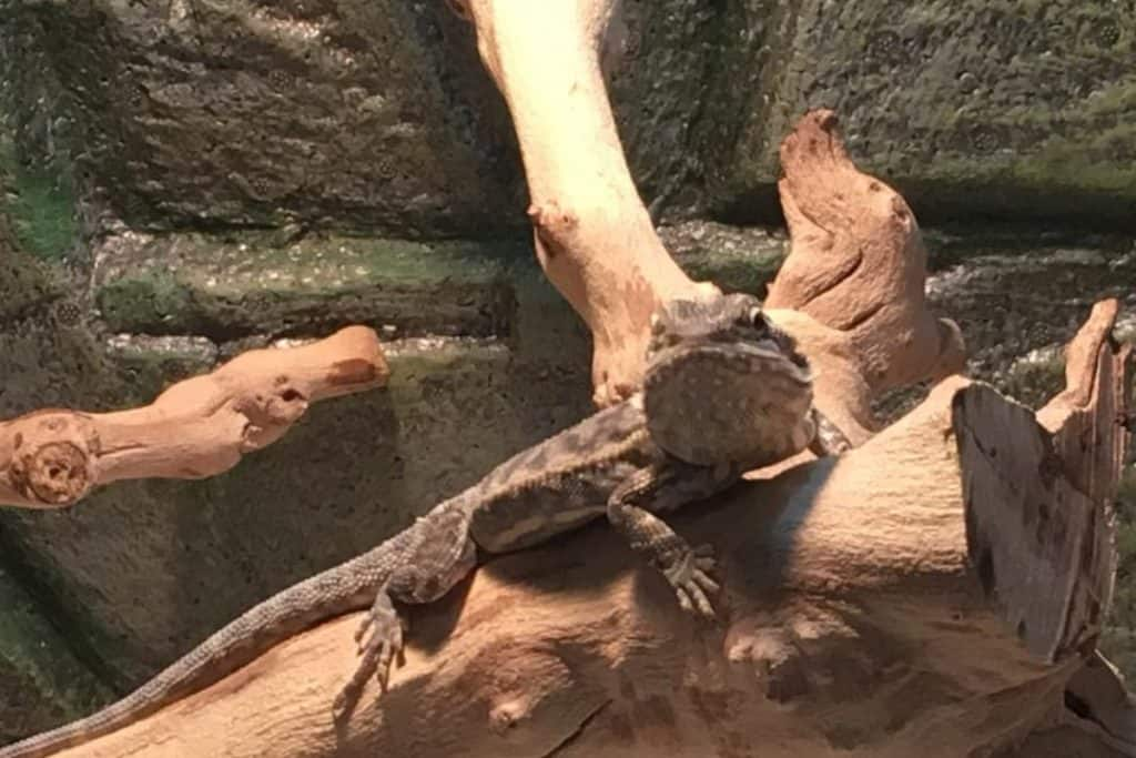 what does it mean when a bearded dragon waves