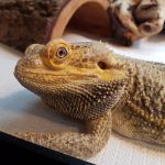 bearded dragon looking into your eyes