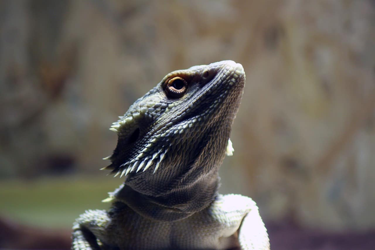 bearded dragon with head turned