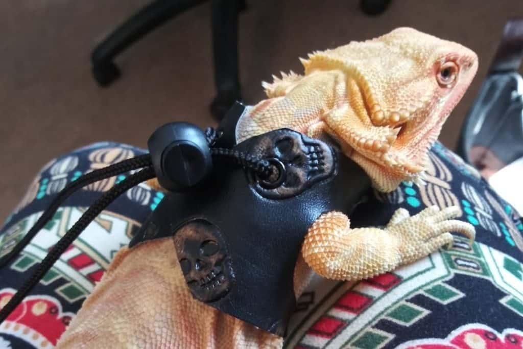 how to make a bearded dragon harness