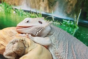 how much water does a bearded dragon need