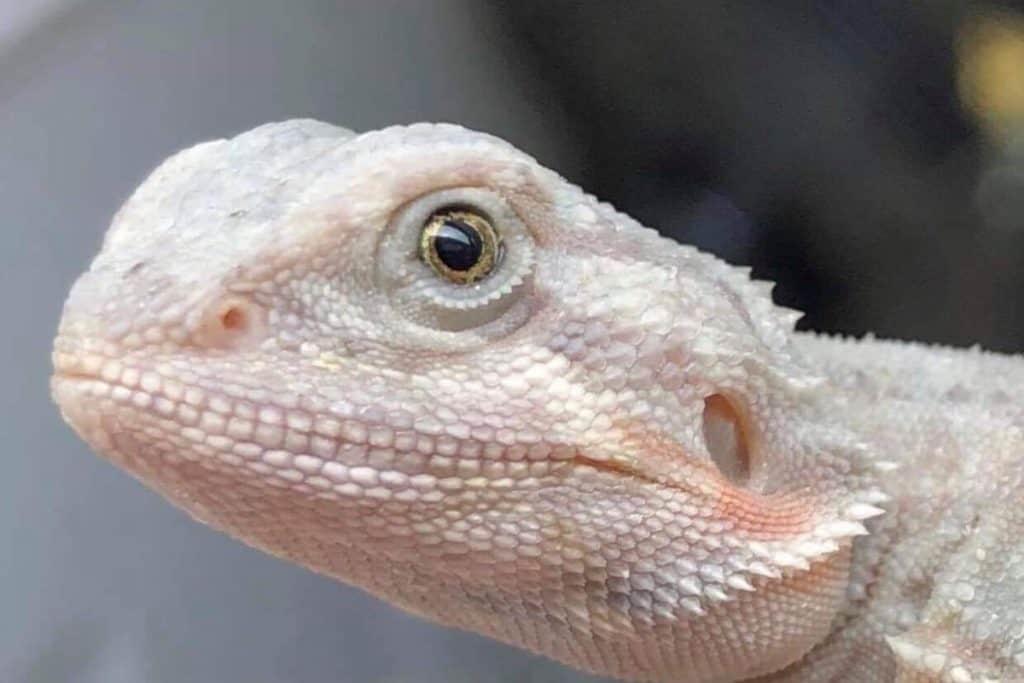 bearded dragon closing eyes when stroked