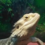 why is my bearded dragon mean