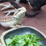 how much does it cost to feed a bearded dragon