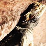 best bearded dragon names