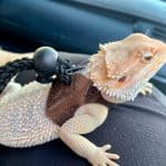 how to travel with a bearded dragon
