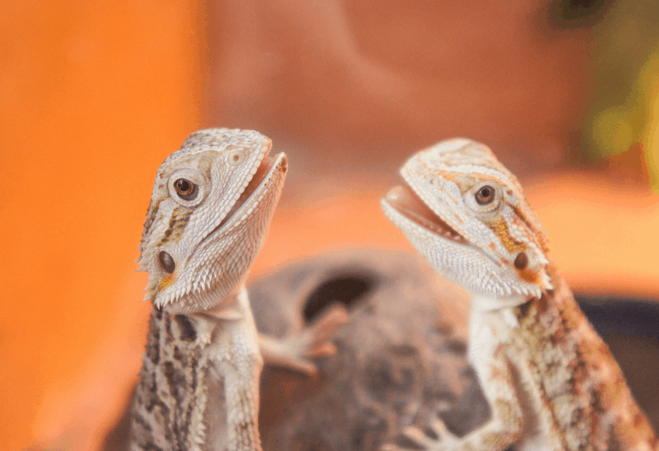 cute juvenile bearded dragons smiling