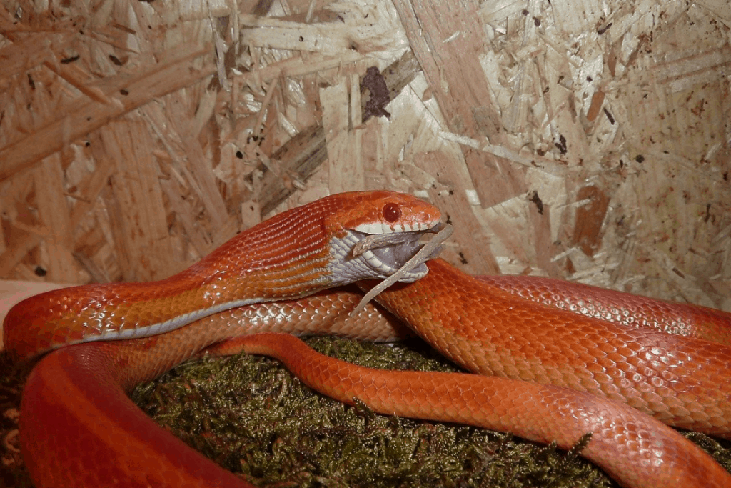how often to feed corn snake