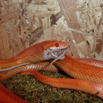 how often to feed corn snake