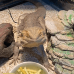 how many superworms to feed a bearded dragon