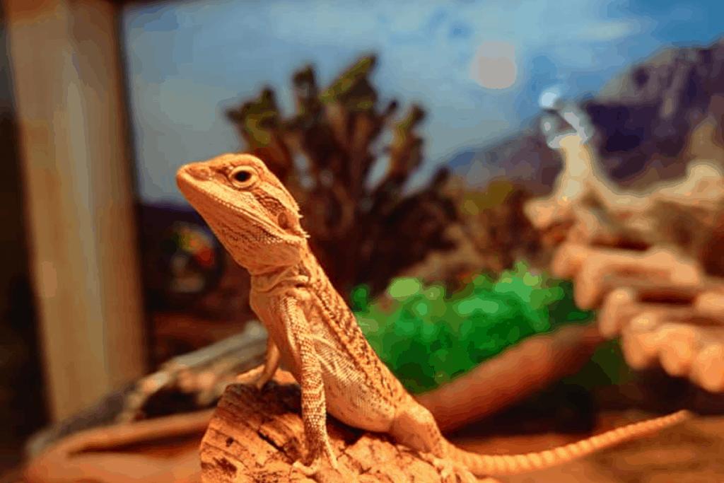 how often to feed bearded dragon