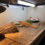 what temperature should a bearded dragon tank be