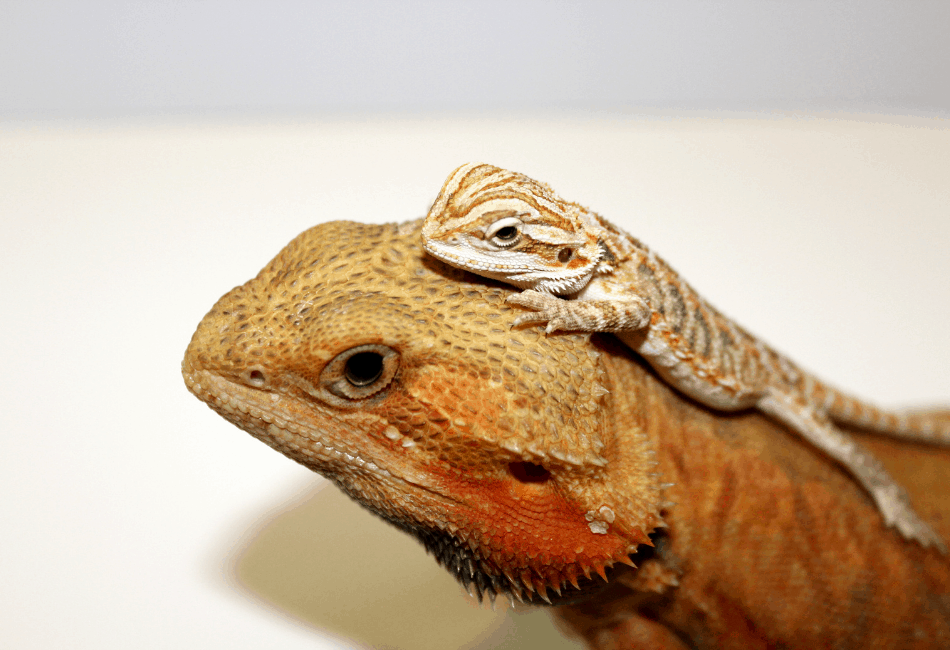 adult and baby bearded dragon together