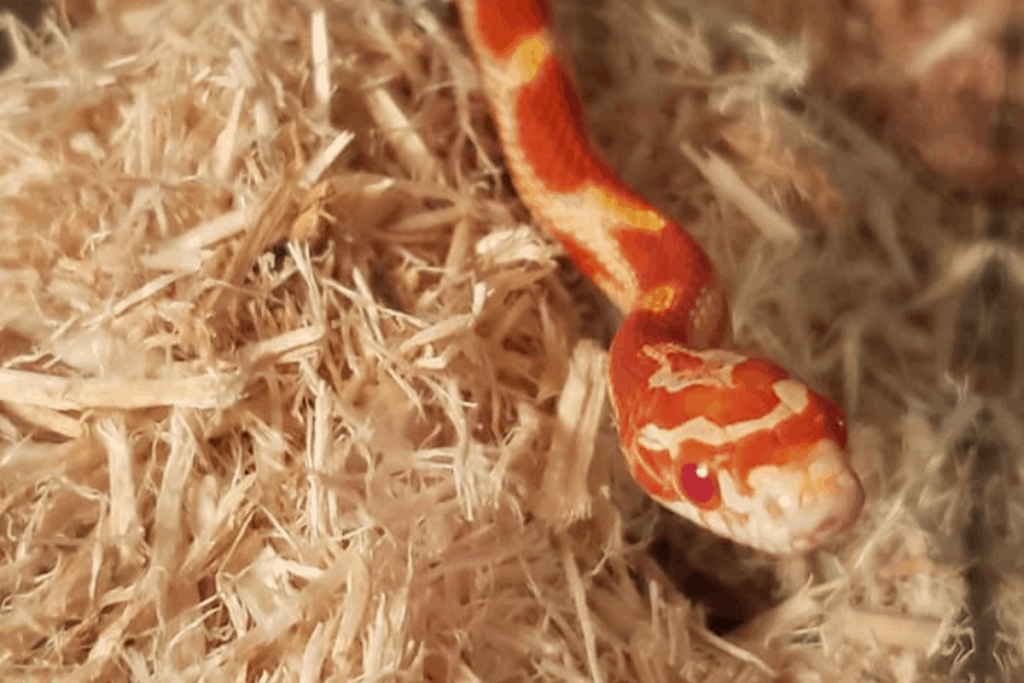 how long can a corn snake go without eating