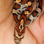 how many pinkies to feed baby corn snake