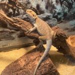 what happens if a bearded dragon gets too cold