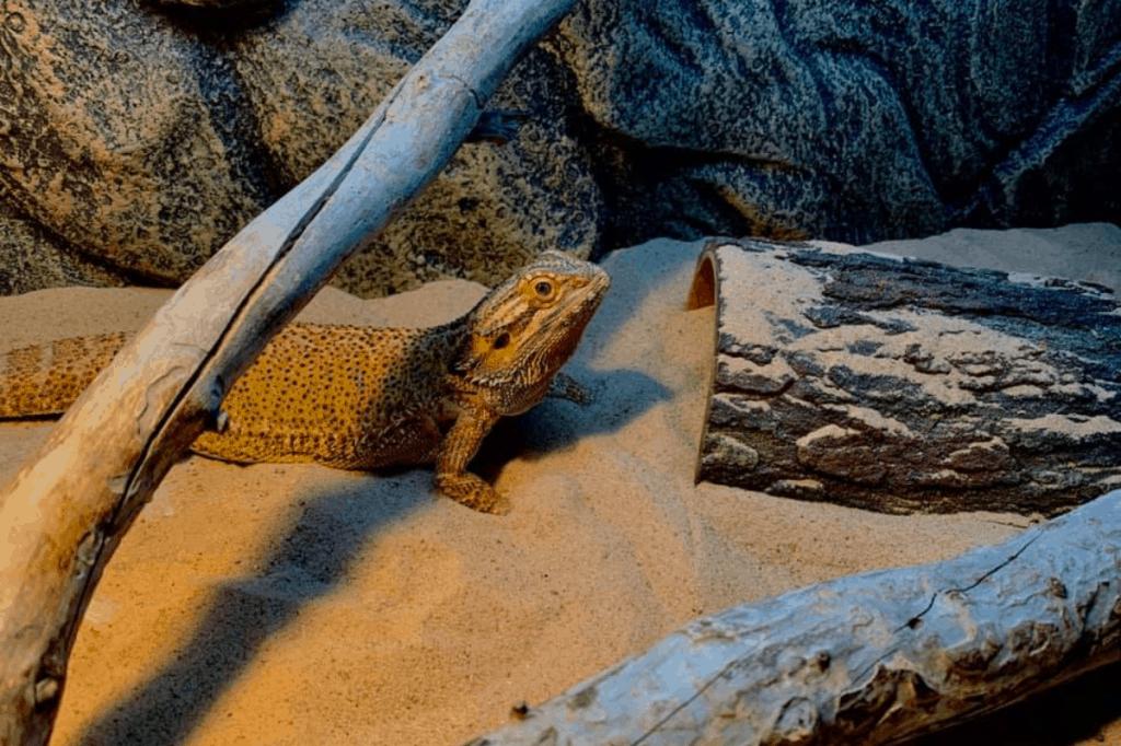 best sand for bearded dragons