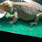 how to tell if you have a german giant bearded dragon
