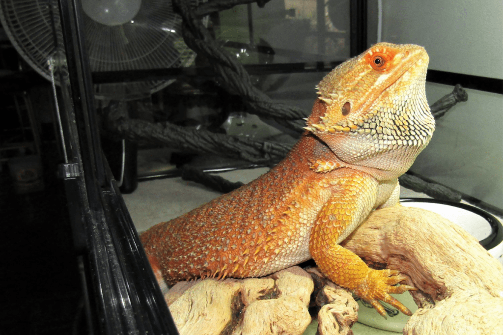 how much uvb for bearded dragon