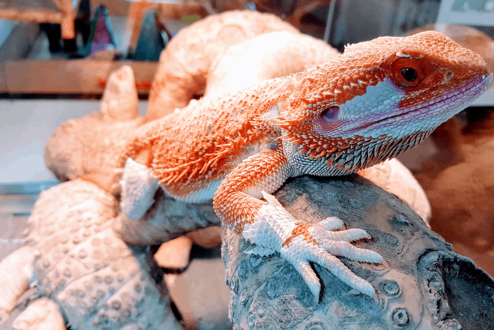 how to help a bearded dragon shed