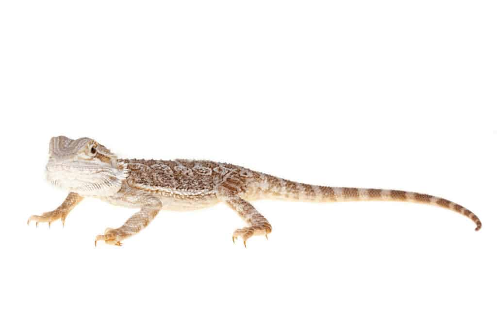 how to tell if your bearded dragon is sick 2