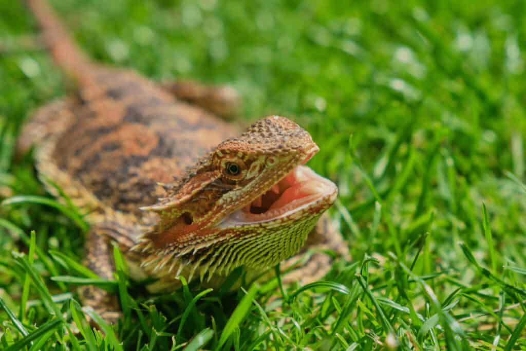 how to tell if your bearded dragon is sick 3