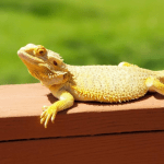how many species of bearded dragon are there