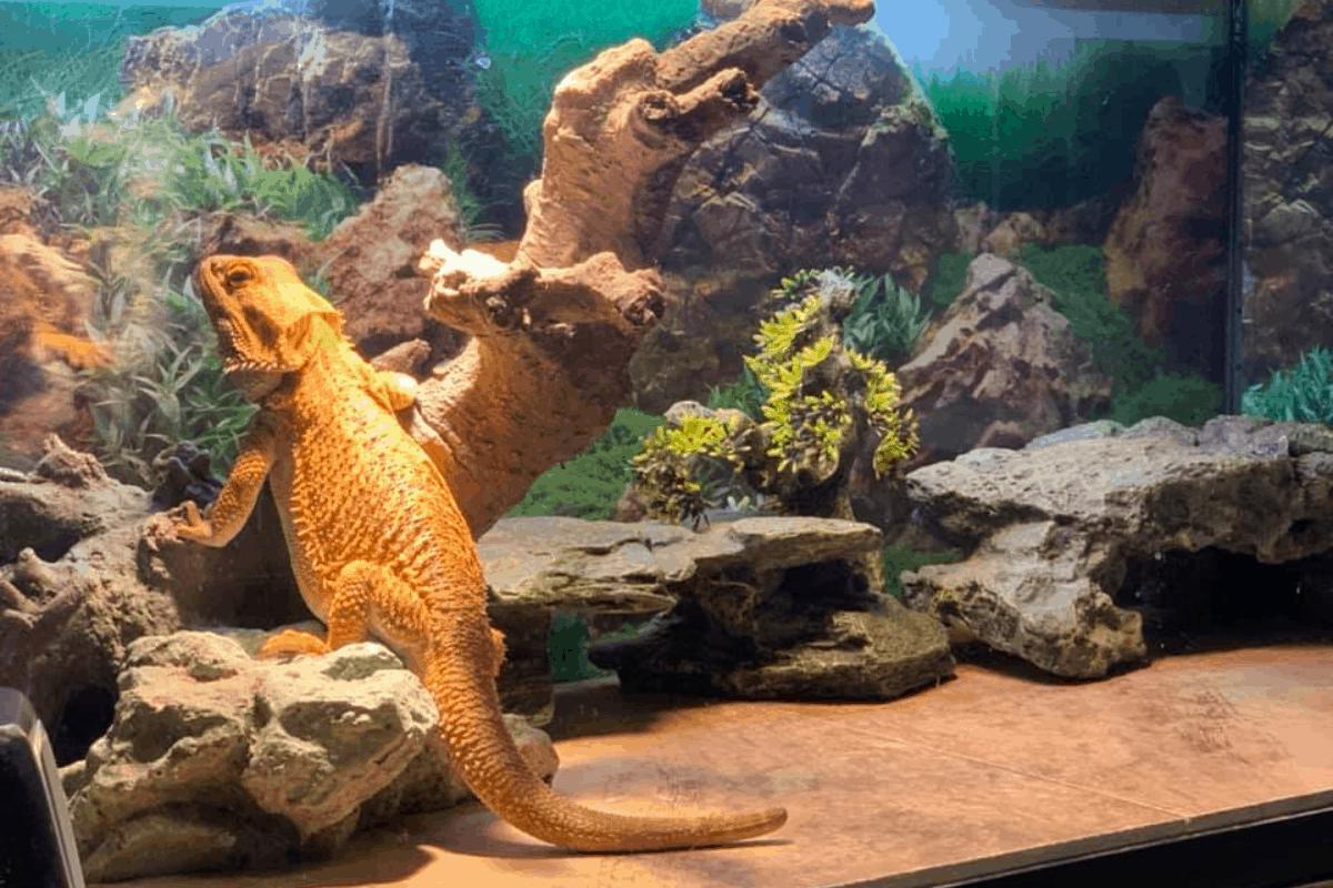Best Insulation For Bearded Dragon Vivariums