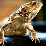 how long does a bearded dragon live for