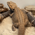 how to incubate bearded dragon eggs