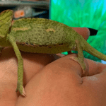 how to care for veiled chameleons