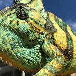 how are chameleons born