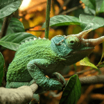 how many species of chameleons are there